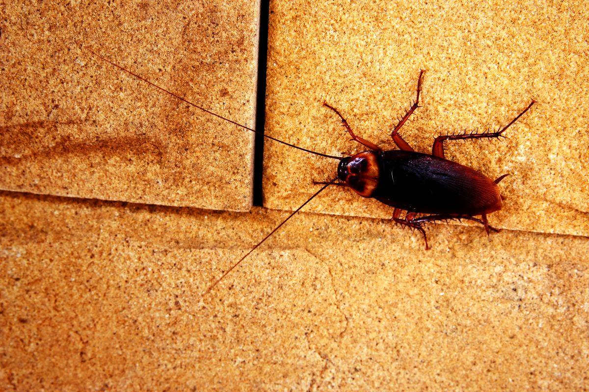 Blatte De Cuisine Photo traitement anti cafards et blattes nice, antibes, cannes et
