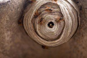 Le nid de guêpe